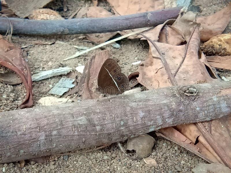 Borboleta do marrom do inseto imagens de stock