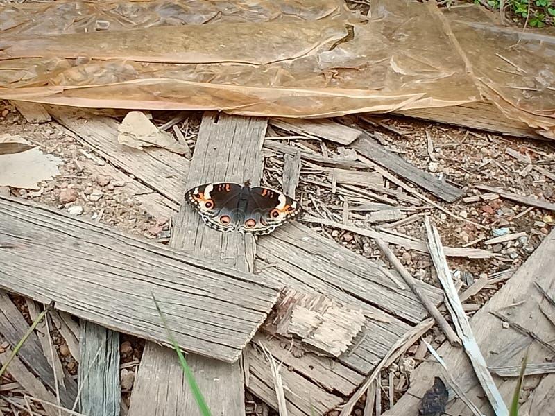 Borboleta do marrom do inseto imagem de stock