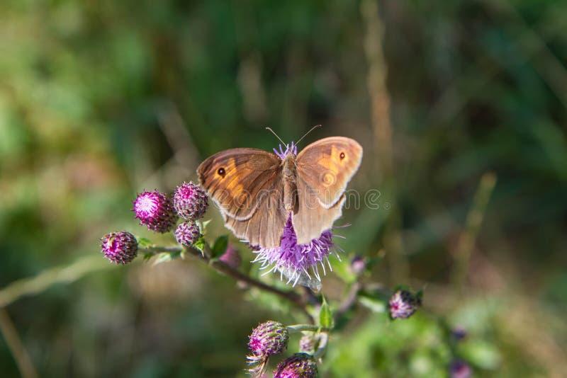 A borboleta do marrom do prado fotos de stock royalty free
