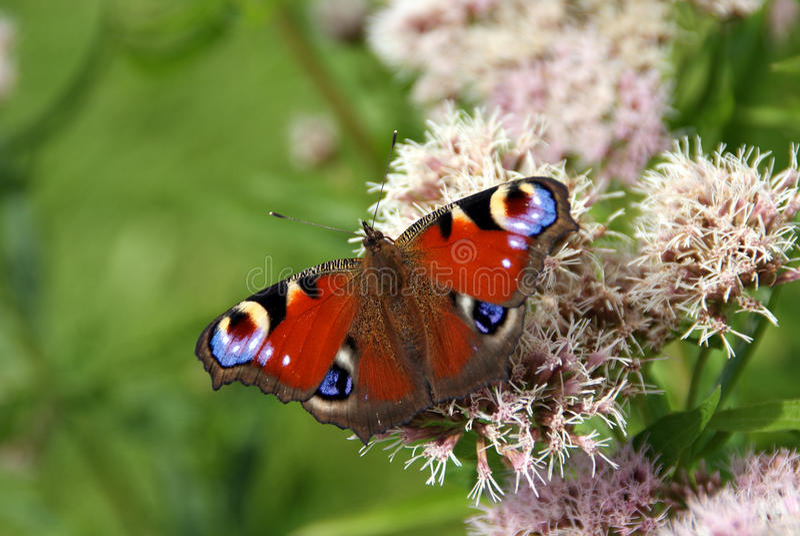 Borboleta do pavão em flores do Agrimony de cânhamo foto de stock royalty free