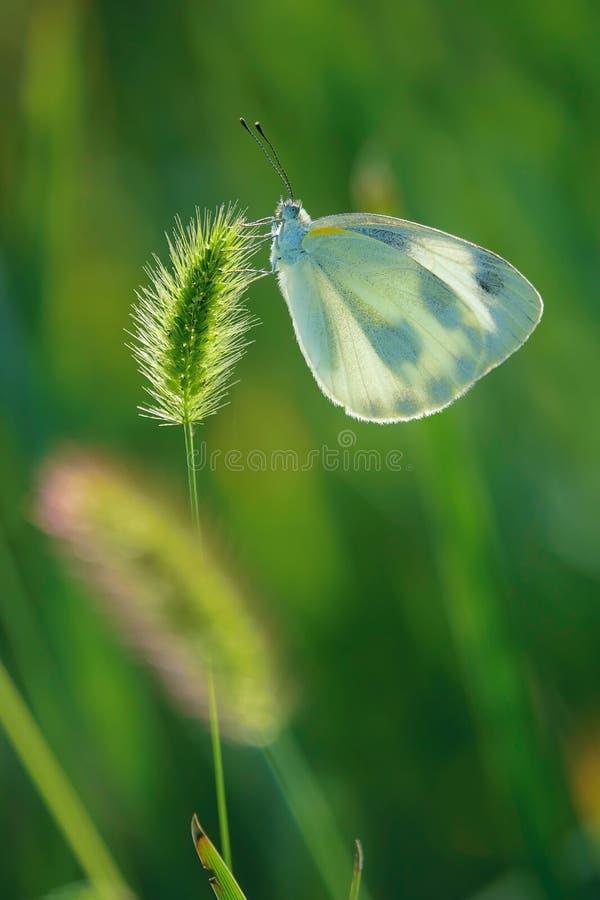 Borboleta do Pieridae foto de stock