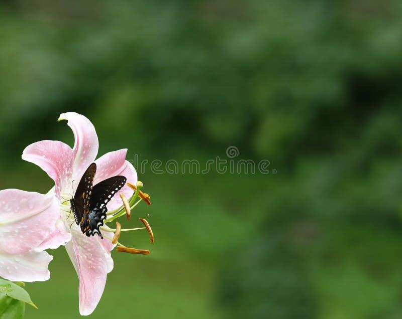 Borboleta do swallowtail de Spicebusch foto de stock