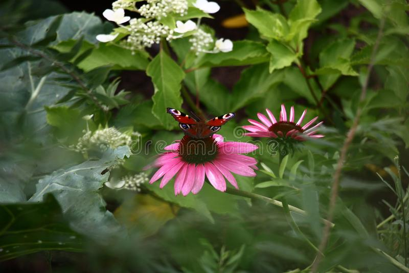 Borboleta e Echinacea imagens de stock