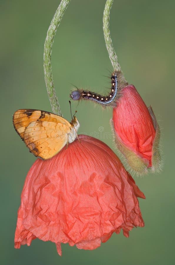 Borboleta e lagarta foto de stock