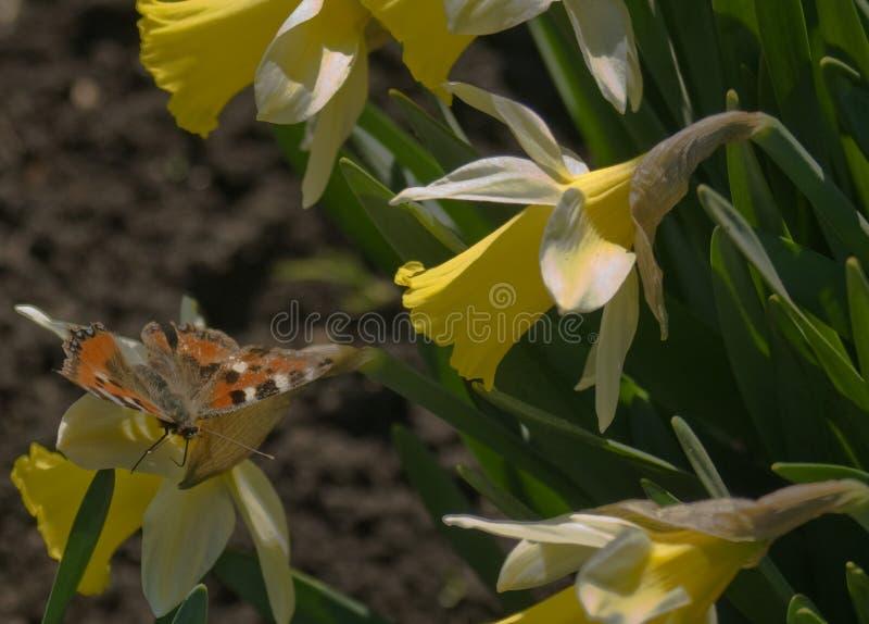 Borboleta e narcisos amarelos fotos de stock royalty free