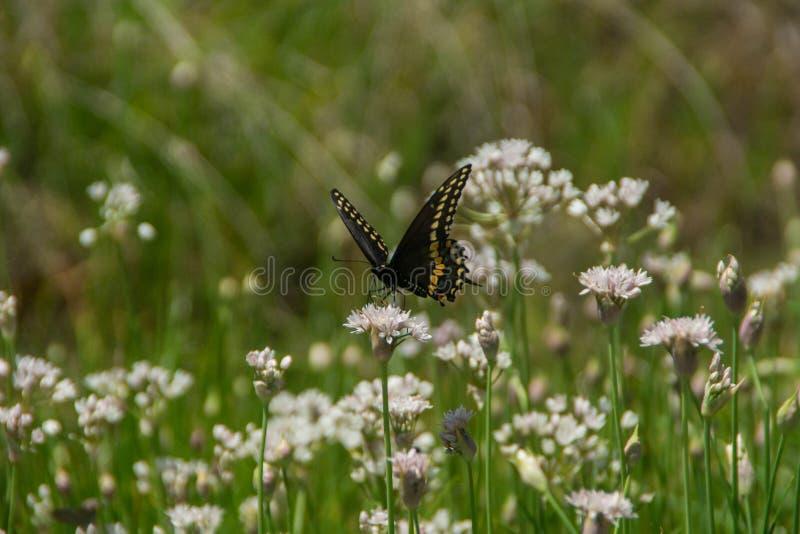 Borboleta e wildflowers na área natural do estado encantado da rocha, Texas imagens de stock