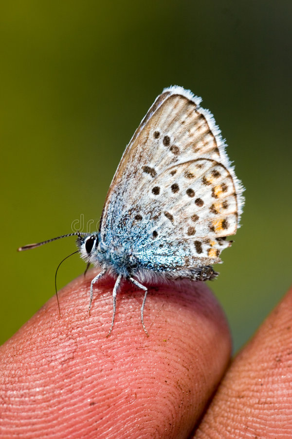 A borboleta em um dedo foto de stock royalty free