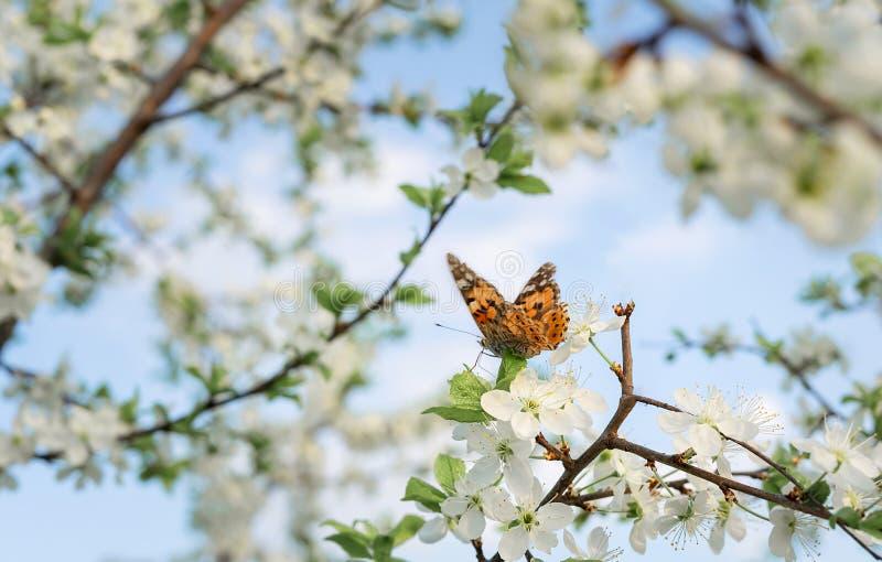 Borboleta em um ramo de árvore de florescência da cereja fotografia de stock royalty free