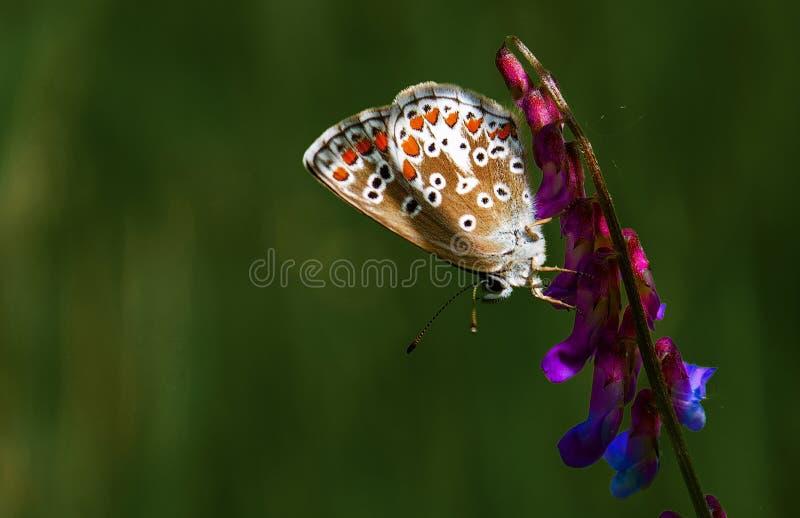 A borboleta em uma flor fotos de stock