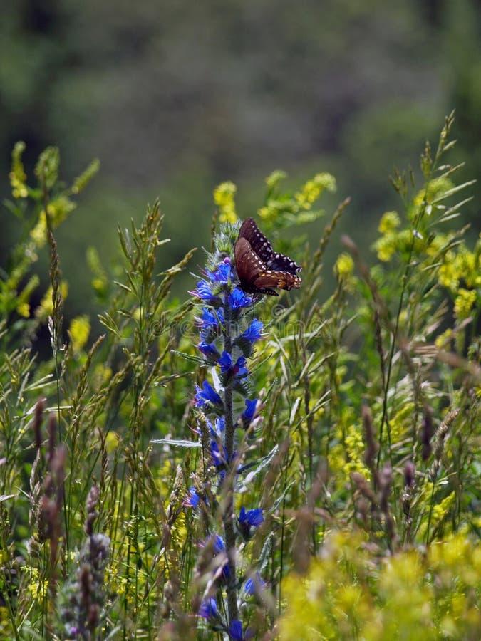 Borboleta em uma flor no parque nacional de Shenandoah, 2008 fotografia de stock royalty free
