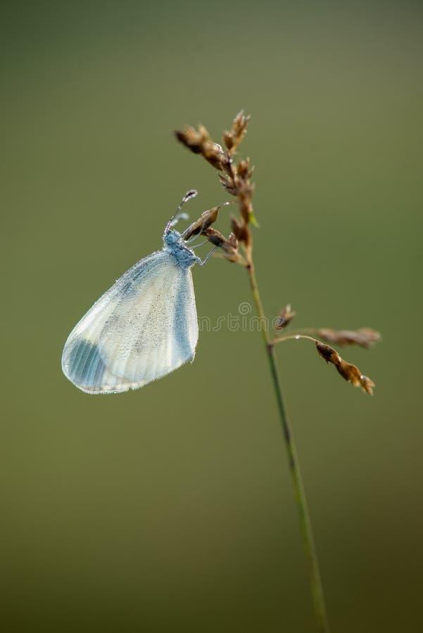 A borboleta em uma l?mina de grama encontra o alvorecer no prado fotografia de stock