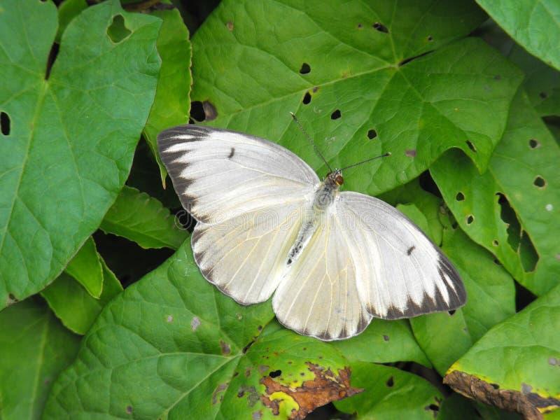 Borboleta emigrante africana fêmea com asas abertas fotografia de stock royalty free