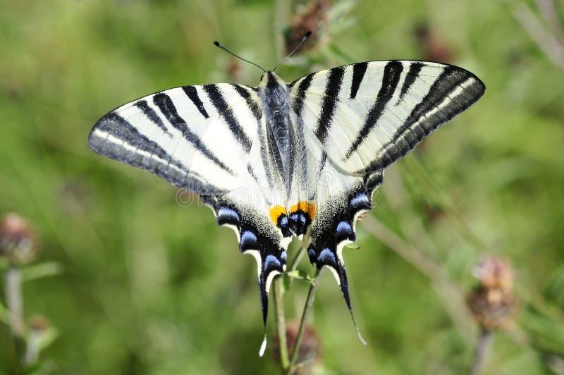 Borboleta escassa de Swallowtail fotos de stock