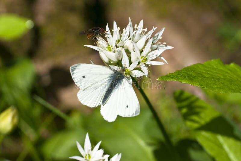 A borboleta, esverdeia o branco veado, (o napi do Pieris) fotografia de stock royalty free