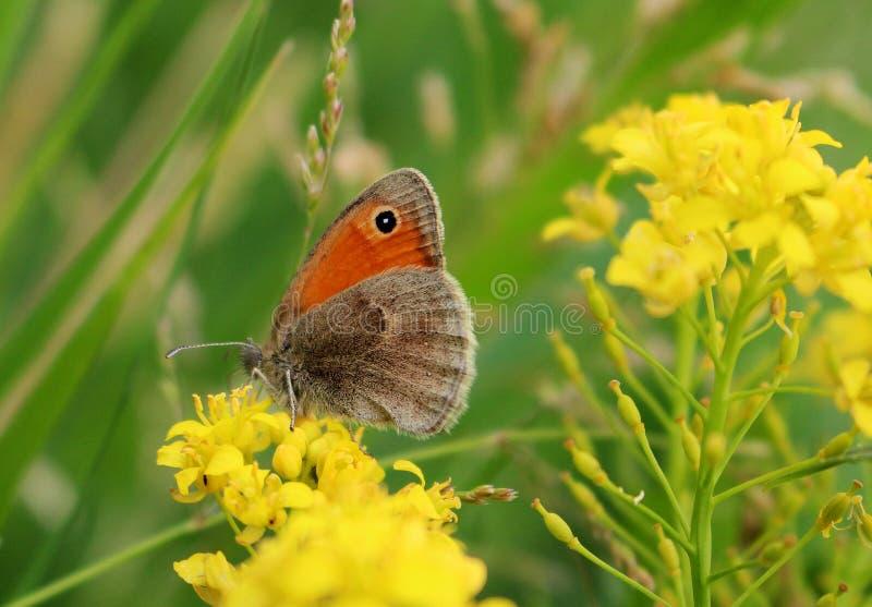Borboleta europeia bonita em uma flor amarela - beleza da natureza imagens de stock