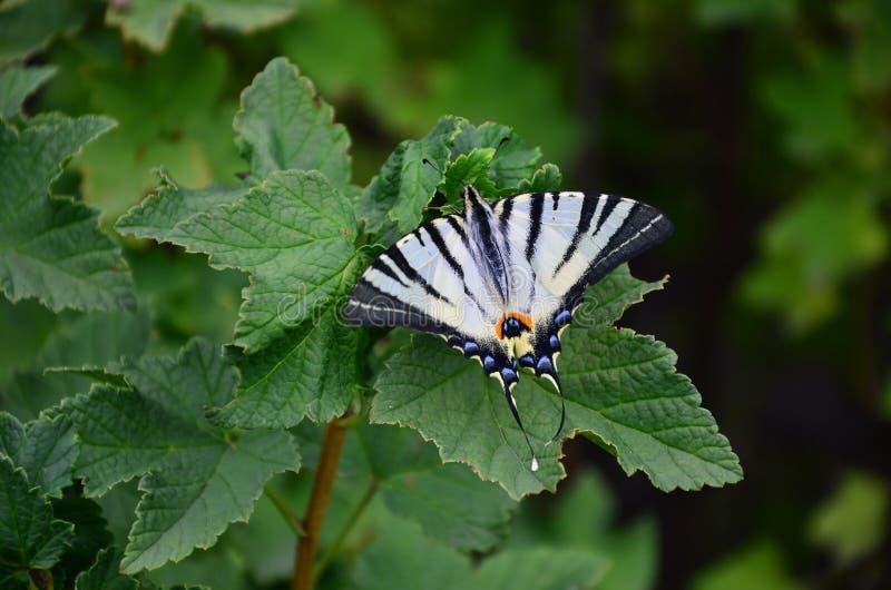 A borboleta europeia rara do podalirius escasso de Iphiclides do swallowtail está sentando-se nos arbustos do raspberrie de flore fotos de stock royalty free