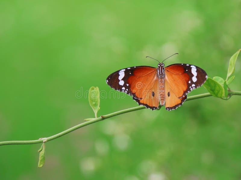 Borboleta Folhas da captura da borboleta no jardim fotografia de stock royalty free