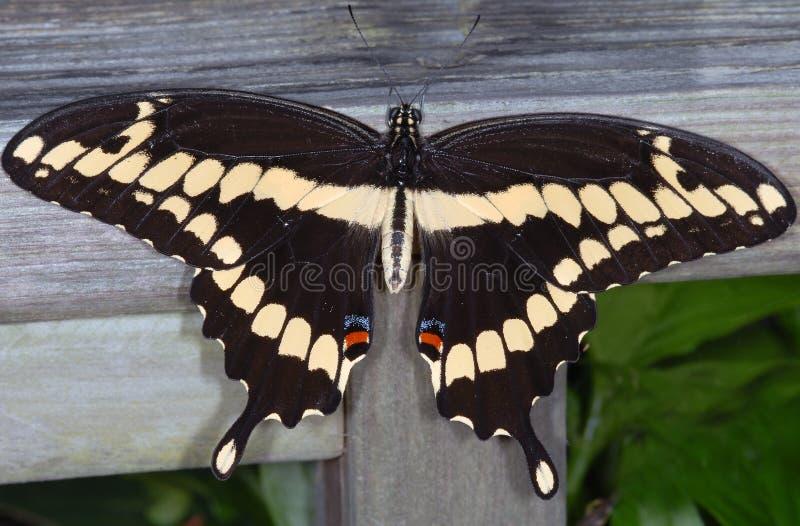 Borboleta gigante de Swallowtail fotografia de stock