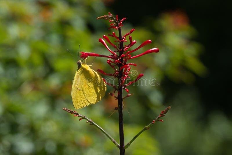 Borboleta - grande enxofre alaranjado - vista lateral fotografia de stock royalty free