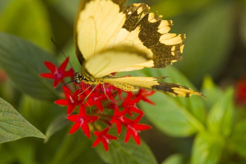 A borboleta inspeciona uma flor vermelha fotos de stock