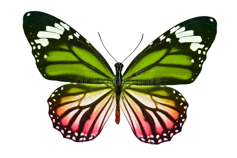 Borboleta isolada no branco inseto multicolorido animal tropical Molde para o projeto imagens de stock