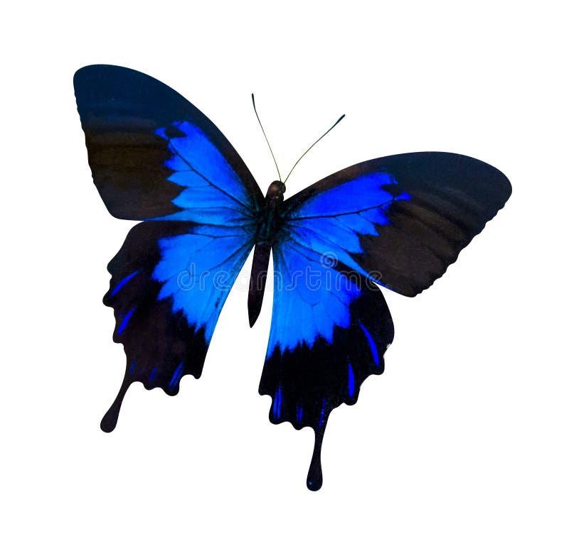 Borboleta isolada ulysses de Papilio imagem de stock
