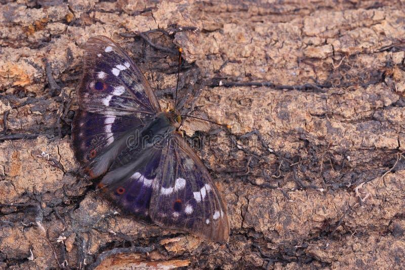 Borboleta - Lesser Purple Emperor (ilia do Apatura) imagem de stock