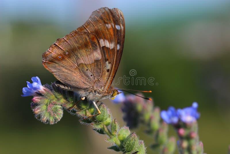 Borboleta - Lesser Purple Emperor (ilia do Apatura) fotografia de stock royalty free