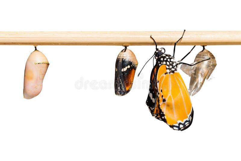 A borboleta lisa do chrysippus do chrysippus de Tiger Danaus imagens de stock