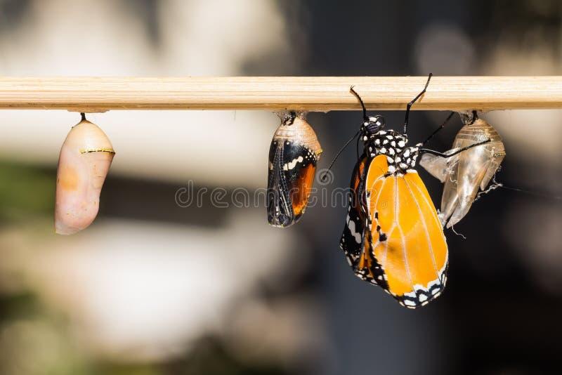 A borboleta lisa do tigre (chrysippus do chrysippus do Danaus) foto de stock