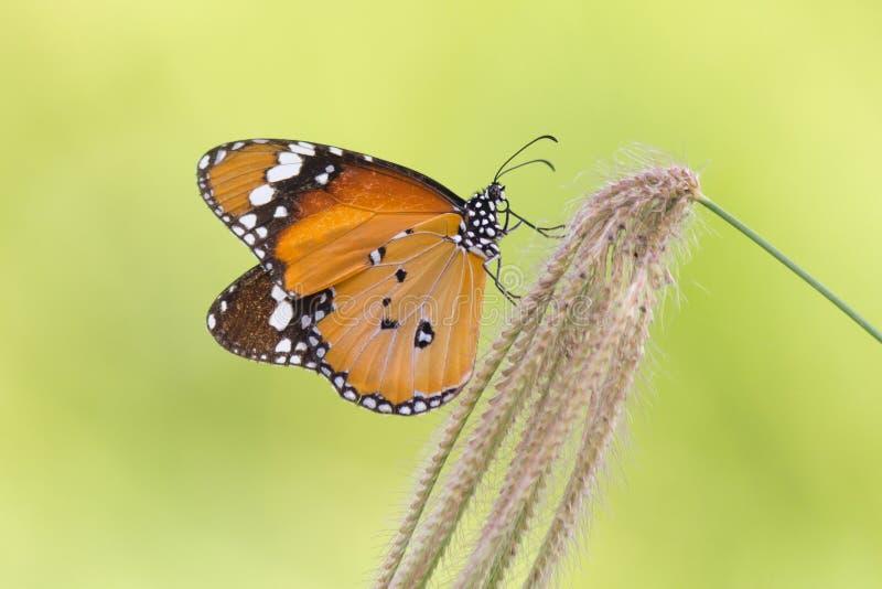 A borboleta lisa do tigre na flor da grama imagens de stock royalty free