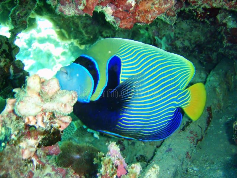 Borboleta listrada dos peixes fotos de stock royalty free