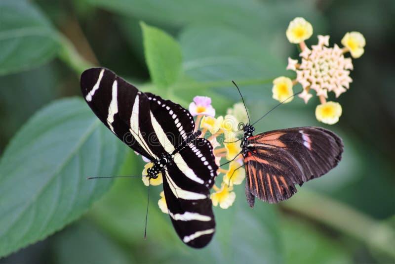 Borboleta listrada preto e branco com uma borboleta preta e vermelha em uma flor amarela e cor-de-rosa fotografia de stock