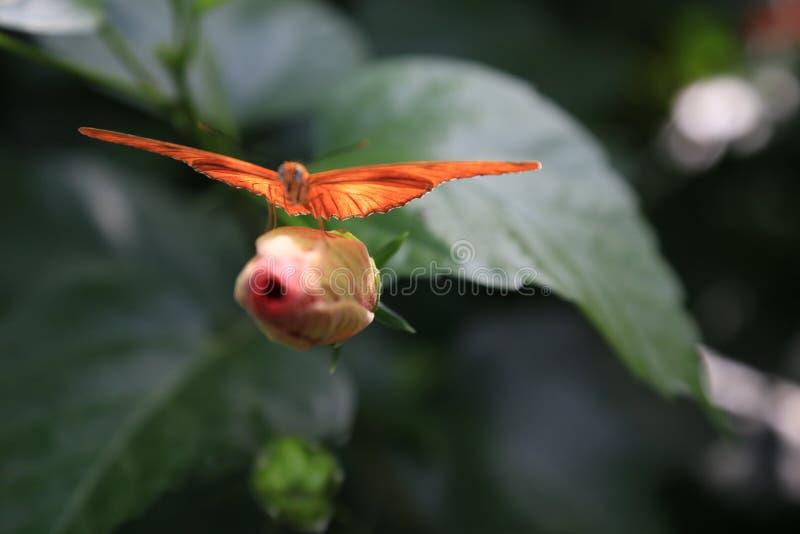 Borboleta longwing de Julia do Dryas alaranjado fotografia de stock royalty free