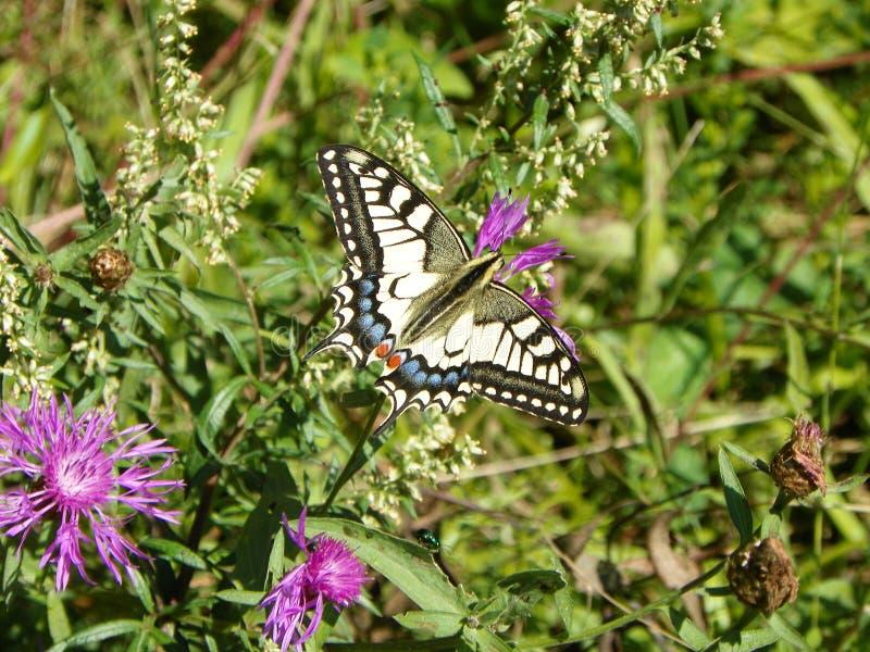 A borboleta Machaon trata o néctar de uma flor do campo foto de stock royalty free