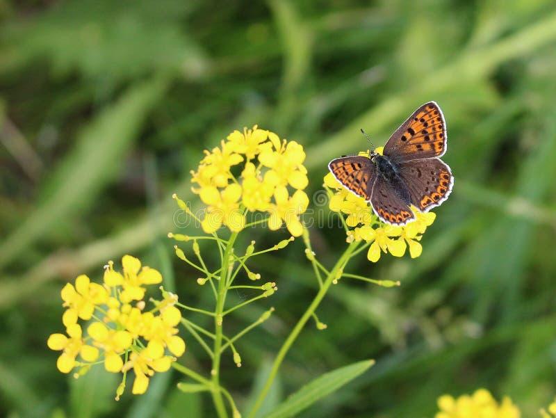 Borboleta marrom bonita em uma flor amarela - beleza da natureza imagem de stock royalty free