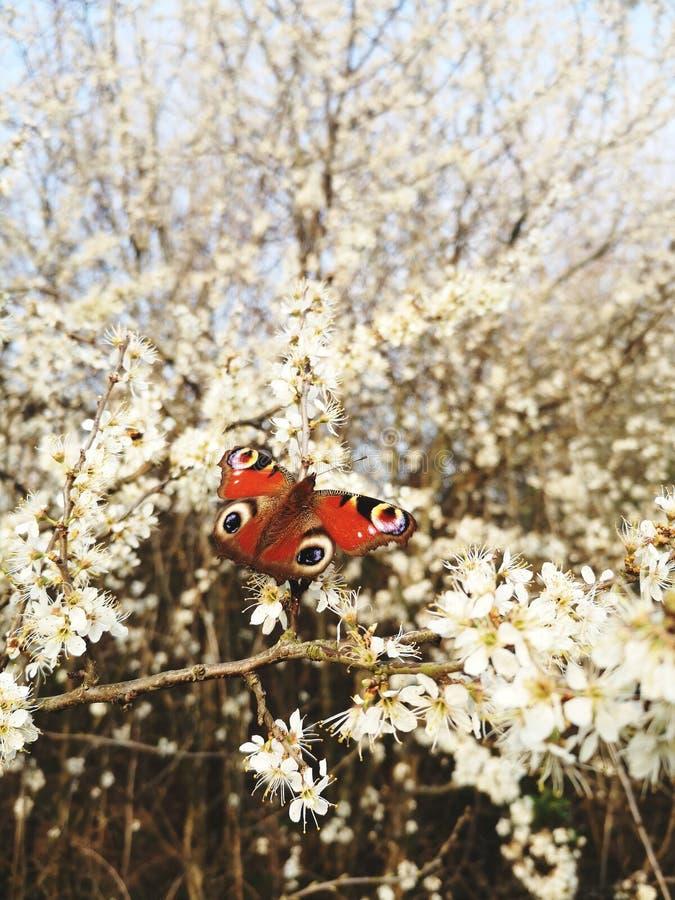 A borboleta na árvore com flores brancas, mola está vindo, tempo bonito fotografia de stock royalty free