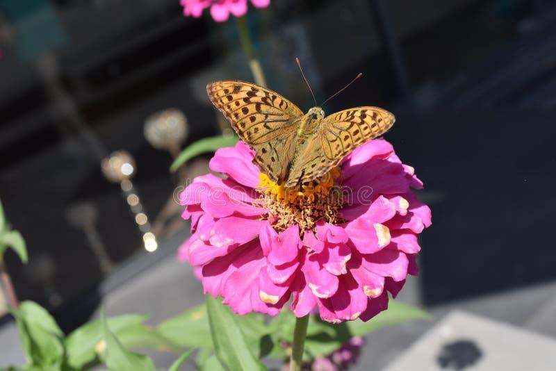 Borboleta na flor cor-de-rosa da beleza fotos de stock