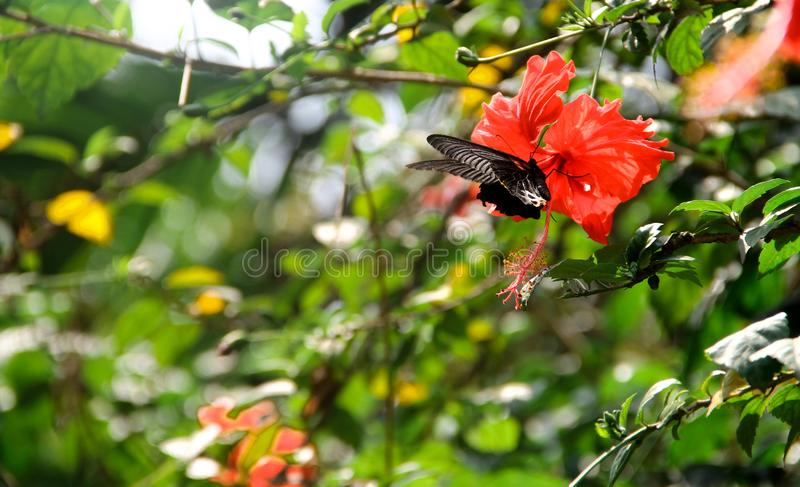 Borboleta na flor do hibiscus fotos de stock royalty free