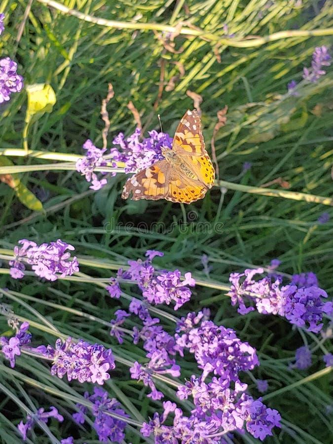 Borboleta na flor do lavendel fotografia de stock royalty free