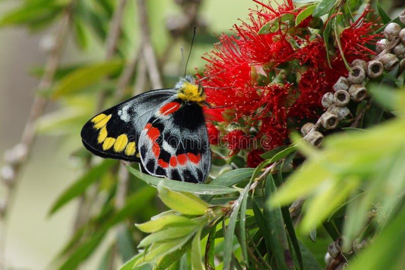 Borboleta na flor vermelha foto de stock