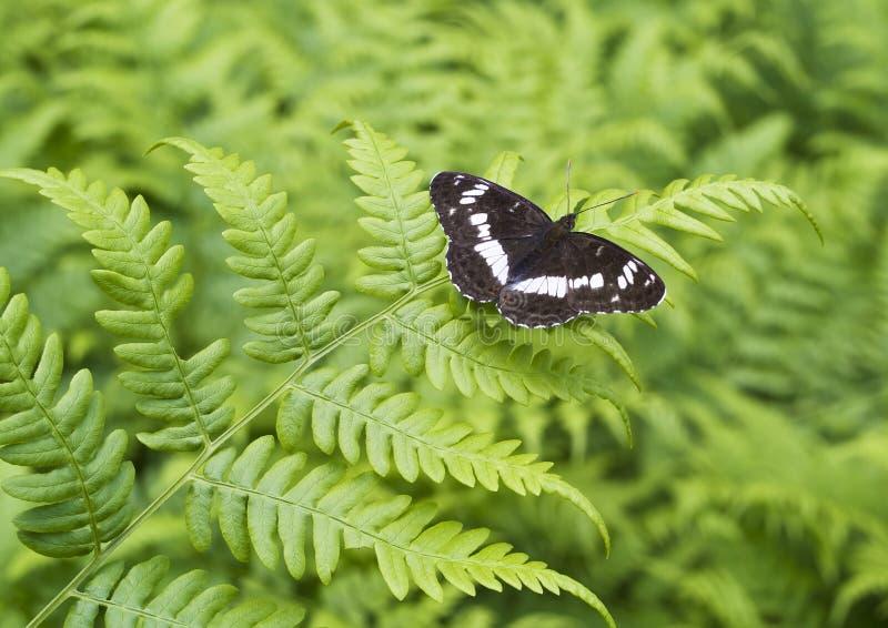 A borboleta na folha do fern fotografia de stock