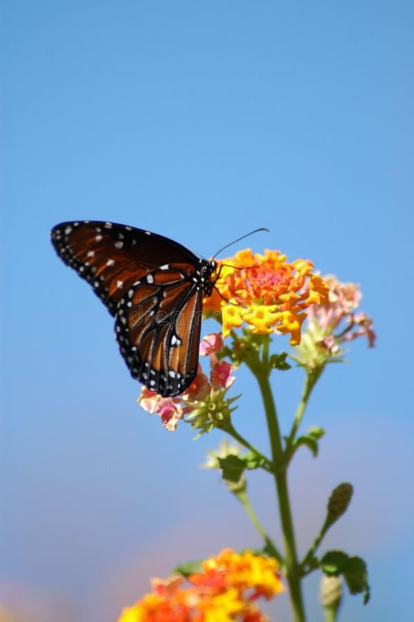 Borboleta no arbusto de borboleta fotografia de stock