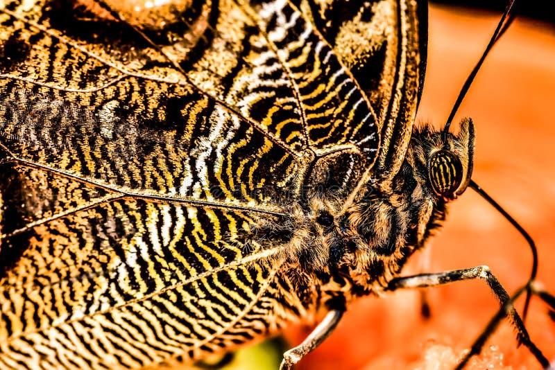 borboleta no fundo preto, foto como um fundo imagem de stock royalty free