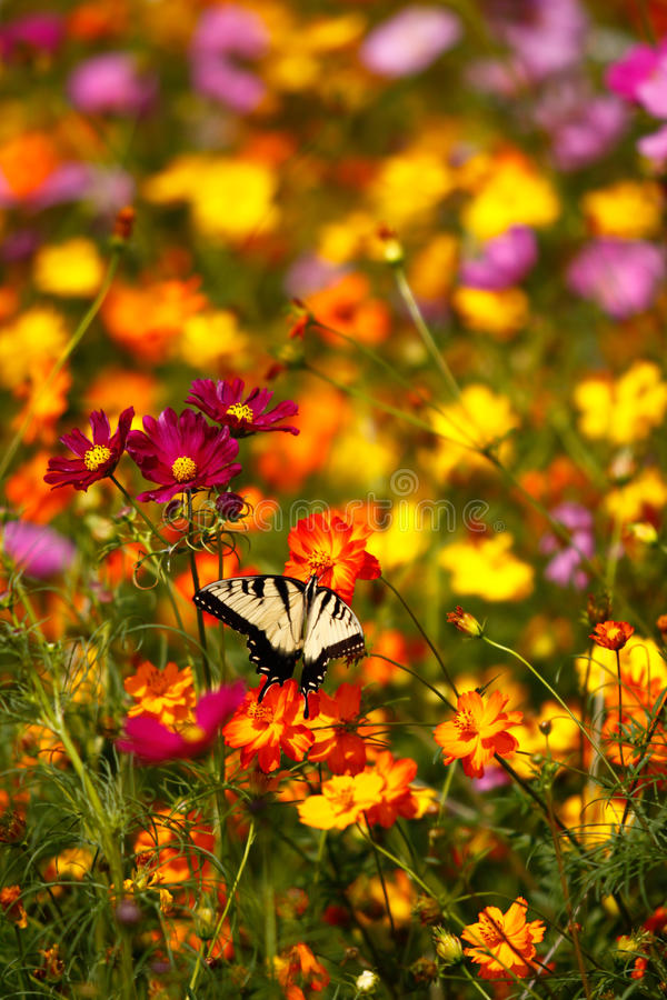 Borboleta oriental de Swallowtail do tigre em Wildflowers foto de stock