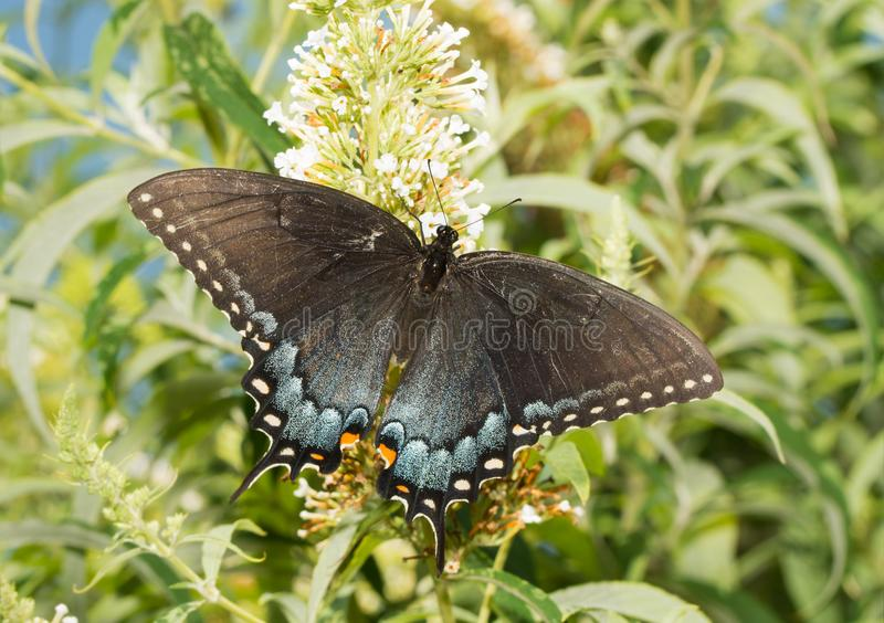 A borboleta oriental de Tiger Swallowtail, obscuridade morph a fêmea fotografia de stock royalty free