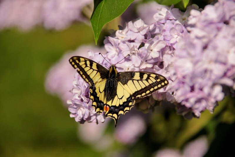 Borboleta oriental do swallowtail do tigre na mola no jardim com as flores roxas da árvore lilás do syringa Estação de mola fotos de stock