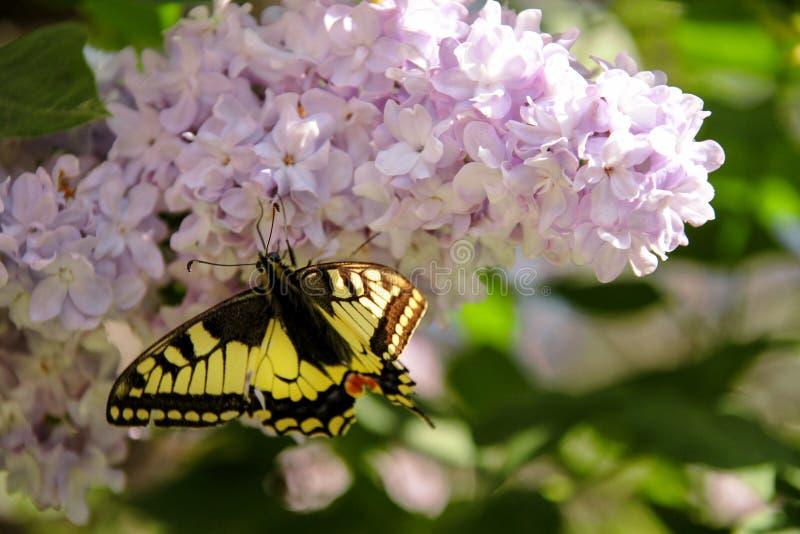 Borboleta oriental do swallowtail do tigre na mola no jardim com as flores roxas da árvore lilás do syringa Estação de mola imagem de stock royalty free