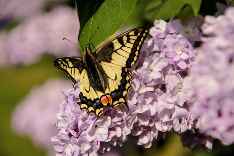 Borboleta oriental do swallowtail do tigre na mola no jardim com as flores roxas da árvore lilás do syringa Estação de mola foto de stock royalty free