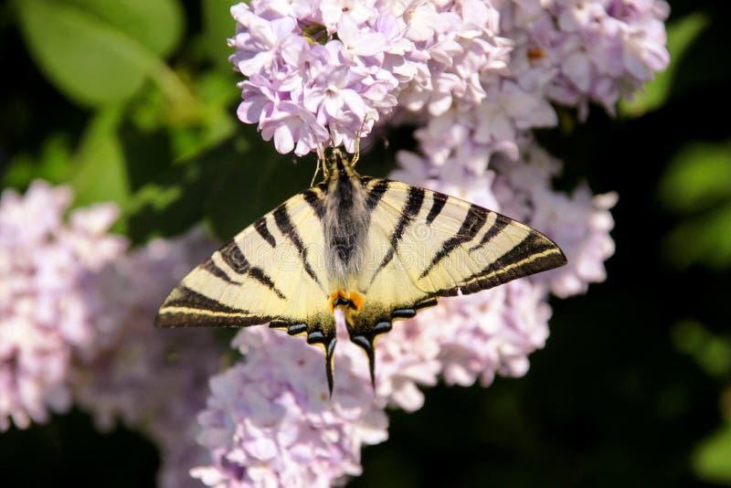 Borboleta oriental do swallowtail do tigre na mola no jardim com as flores roxas da árvore lilás do syringa Estação de mola fotografia de stock
